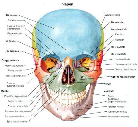 Oasele craniului