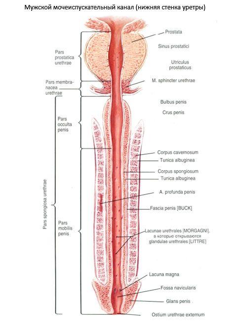 atașament cu penisul penisului