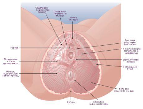 mușchiul pubian- coccigian al penisului)