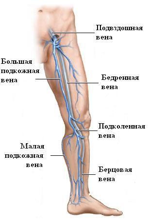 structura piciorului)